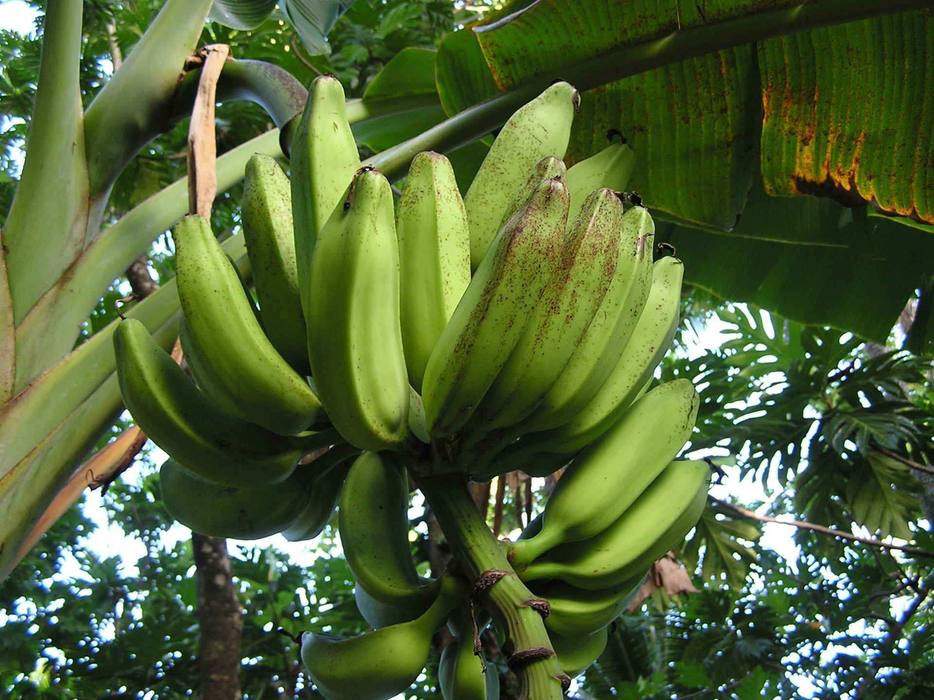 banana fertilizer application for young plant